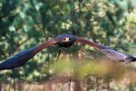 Bird of Prey Handling and Flying Experience for Up to Four at Hawks in The Forest