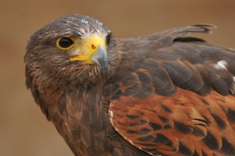 Birds of Prey Experience with Cream Tea for One or Two at The North Somerset Bird of Prey Centre