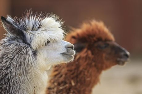 Alpaca Walk with Cream Tea for Two or Four at Willow Tree Family Farm