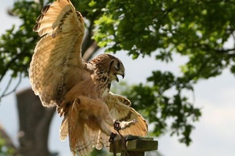 Two-Hour Falconry Experience for One or Two at Birds of Prey Centre