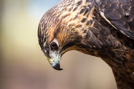 Birds of Prey Experience for One or a Guided Hawk Walk for Up to Four at Riverside Falconry
