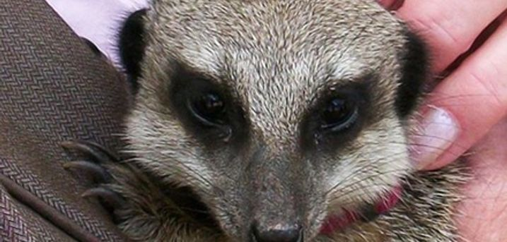Meerkat Experience for Two or Four at Hoo Farm Animal Encounters