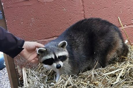 One-Hour Raccoon Experience for Two or Four at Hoo Farm Animal Encounters