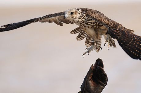 3-Hour Falconry Experience - 6 UK Venues     Get up close and personal with rare predators such as falcons, eagles and owls     Learn about their behaviour and enviroment - as taught by expert handlers     Enjoy a flying display and get a chance to han
