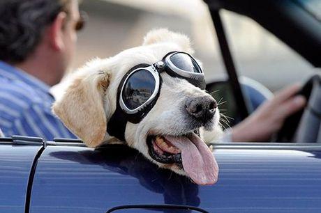 Hunde-Sonnenbrille mit verstellbaren Riemen. Hunde-Sonnenbrille zum Schutz gegen UV-Licht, Fahrtwind und Sandkörner. Cooles Gadget für Fotosessions mit Hund und Herrchen. Mit verstellbaren Riemen.