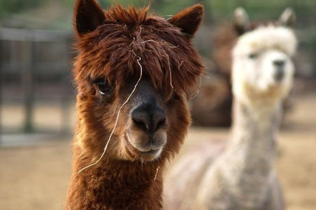£24 for an alpaca walk and cream tea for two people, £39 for four people at Herrings Green Activity Farm, Wilstead!