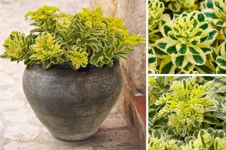 £12.99 instead of £19.99 for a pack of three sedum 'atlantis' from Blooming Direct - save 35%