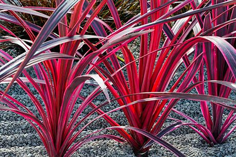 £11.99 instead of £14.99 for a Cordyline 'Pink Passion' plant from Blooming Direct – add stunning colour to your garden and save 20%