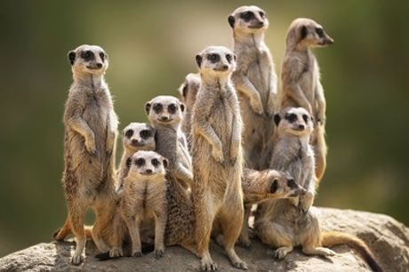 30-Minute Meerkat Experience, Park Entry, Cream Tea for Two or Four at Willow Tree Family Farm