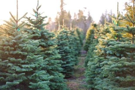 1,80 bis 2 m Weihnachtsbaum in Premium-Qualität bei Werderaner Tannenhof (42% sparen*)
