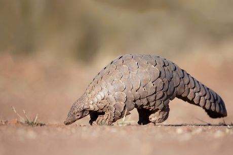£19 for a one-year pangolin adoption pack from the Born Free Foundation including a cuddly toy, certificate and more