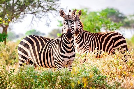 Kenias Superlative: Safaris & Strandurlaub - Kostenfrei stornierbar, Tsavo-West-Nationalpark & Tiwi Beach - save 22%