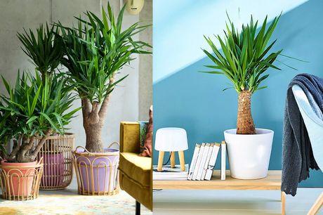 XL Yucca stronk Makkelijk te onderhouden<br /> 70-80 cm hoog bij levering<br /> Breng meer sfeer in huis