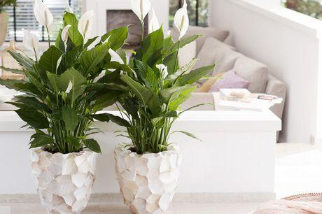 Set van 2 lepelplanten Zorgt voor een schonere lucht<br /> Fleur je woonkamer op<br /> Dé plant voor snurkers