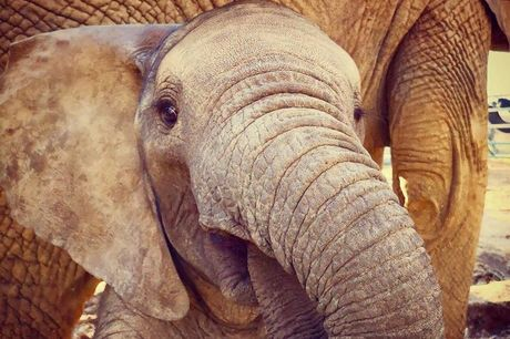 £15 for a one-year elephant calf digital adoption pack from The Aspinall Foundation - save 40%