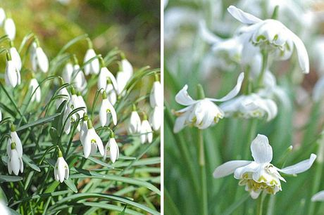 £6.99 instead of £10.99 for a pack of 25 snowdrops in the green bulbs from Thompson & Morgan - save 36%