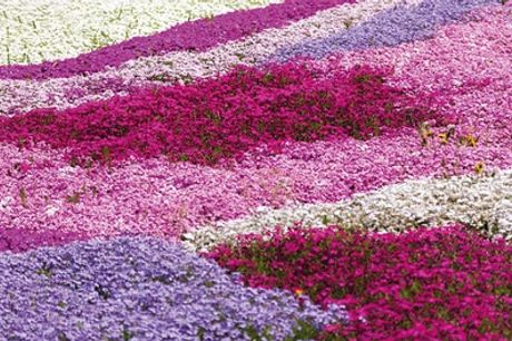 Phlox Creeping Collection up to 100 Plants