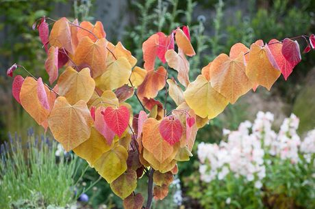 £34.99 for a Cercis 'Eternal Flame' from Suttons