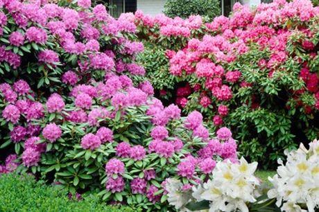 1 of 2 mix van 3 soorten rododendrons