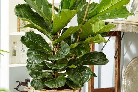 Vioolbladplant Leveringshoogte van 65-70 cm <br /> In een kweekpot vvan 17cm<br /> Eenvoudig te verzorgen