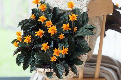 Kleurrijke pauwenplant Hoogte bij levering: 40-50 cm<br /> Kleurrijke knaloranje bloemen<br /> Makkelijk te verzorgen